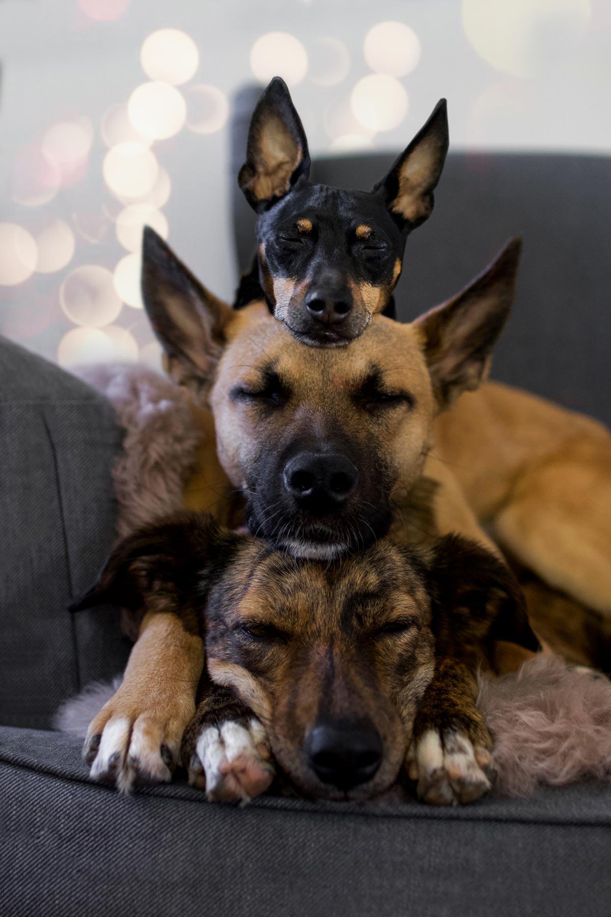 Drei Hunde schlafen auf dem Sofa